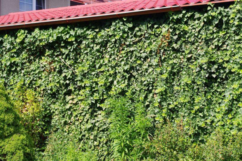 Fasády z popínavých rostlin